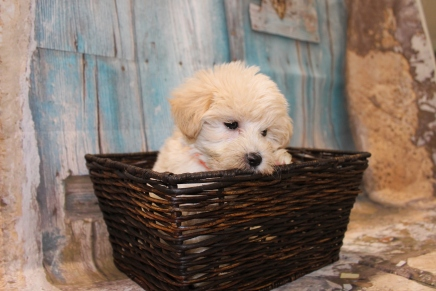 Mickey Male CKC Yorkipoo $1750 Ready 3/5 AVAILABLE 2lbs 5.5oz 8 WEEKS old