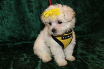 Blondie Female CKC Maltese $1750 Ready 2/25 AVAILABLE 1 Lb 8.6 oz 7 Weeks Old