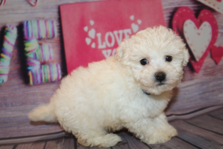 Caesar Male CKC Havashu $1750 Ready 2/7 SOLD! MY NEW HOME IS IN ST. SIMONS ISLAND! 1lb 10 oz 6W5D Old