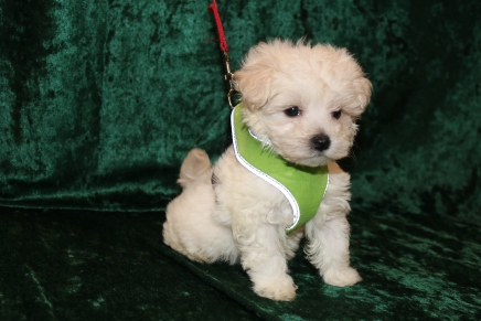 Chilly Male CKC Maltese $1750 Ready 2/25 HAS DEPOSIT MY NEW HOME JACKSONVILLE, FL 1 Lb 7 oz 7 Weeks Old