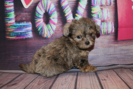 Cuddle Bear Male CKC Shihpoo $2000 Ready 2/6 HAS DEPOSIT MY NEW HOME JACKSONVILLE, FL 1 Lb 1LB 4 oz 6W4D Old