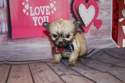 Cutie Male Miki $2000 Ready Feb 4 AVAILABLE 14.5 oz 7 W 2 days Old