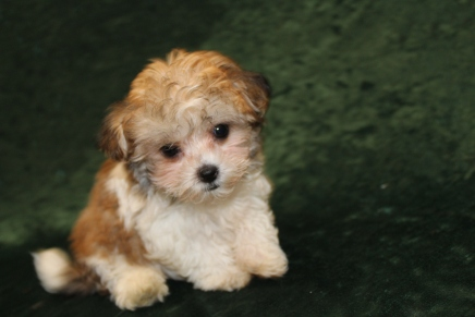 Egypt Female CKC Havashu $1750 Ready 2/7 SOLD MY NEW HOME FERNANDINA BEACH, FL 1 Lb 7.7 OZ 9W2D OLD