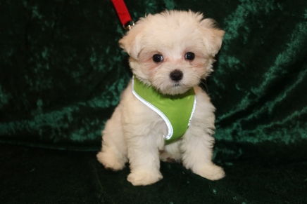 Fluffy Male CKC Maltese $1750 Discounted because of umbilical hernia now $1500 Ready 2/25 SOLD! MY NEW HOME IS IN FERNANDINA BEACH, FL! 1 Lb 9.5 oz 7 Weeks Old