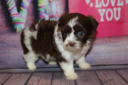 Fudge Male CKC Havashipoo $2000 Ready 2/19 HAS DEPOSIT MY NEW HOME PONTE VEDRA, FL 1LB 7OZ 5W1D OLD