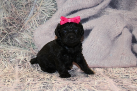 Giggles Female CKC Schnoodle $1750 Ready 3/5 HAS DEPOSIT! MY NEW HOME IS IN Oklahoma City, Oklahoma! 1lb 9.5oz 3W6D old