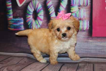 Honey (Minnie) Female Havapoo $2000 Ready 2/8 HAS DEPOSIT MY NEW HOME TAMPA, FL 14.8 oz 6W3D Old