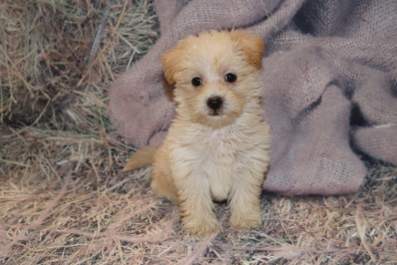 Juliet Female CKC Yorkipoo $1750 Ready 2/11 HAS DEPOSIT MY NEW HOME MIAMI, FL 2lbs 2 oz 7W2D Old
