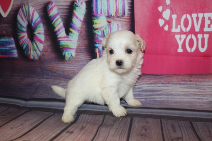 London Female CKC Havanese $1750 Ready 2/23 HAS DEPOSIT MY NEW HOME PORT ST LUCIE, FL 1lb 4 oz 4W4D Old
