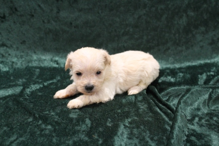Misty Female CKC Yorkipoo $2000 Ready 3/15 HAS DEPOSIT! MY NEW HOME IS IN SPRING HILL, FL! 15.3oz 3W2D Old