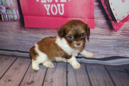 Mocha Female CKC Havashipoo $2000 Ready 2/19 HAS DEPOSIT! MY NEW HOME IS IN JACKSONVILLE, FL! 15.9OZ 5W1D OLD