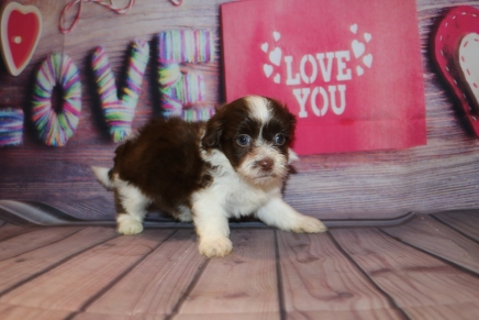 Nestle Male CKC Havashipoo $2000 Ready 2/19 HAS DEPOSIT MY NEW HOME PONTE VEDRA, FL 1 lb 10OZ 5W1D OLD