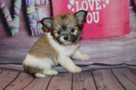 Num Num (Valentina) Female Miki $2000 Ready Feb 6 SOLD MY NEW HOME GOSHEN, NY 1 Lb 4 oz 6W5D Old