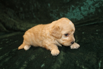 Pickles Female CKC Maltipoo $2000 Ready 3/15 AVAILABLE 1LB 8.7 oz 3W1D Old