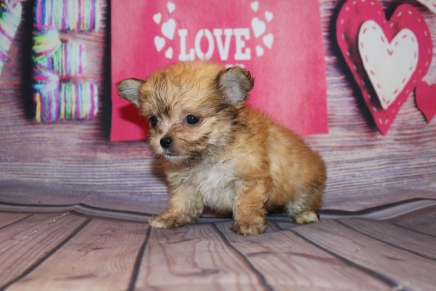 Pookie Male Miki $2000 Ready Feb 4 SOLD MY NEW HOME ARLINGTON HEIGHTS, IL 15oz 7w2d old