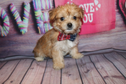 Prince Eric Male CKC Morkie $1750 Ready 1/28 SOLD! 2.1lb 8W Old