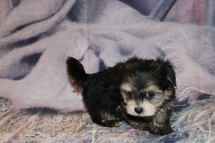 Romeo Male CKC Yorkipoo $2000 Ready 2/11 SOLD! MY NEW HOME EXTON, PA 1lb 6oz 7W 2D Old