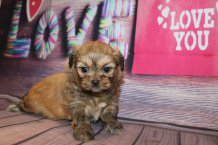 Roxanne Female CKC Shihpoo $1750 Ready 2/25 H2 lbsAS DEPOSIT MY NEW HOME ORLANDO, FL 4W1D Old