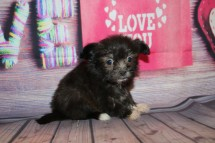 Snookums Male Miki $2000 Ready Feb 4 SOLD MY NEW HOME ORANGE PARK, FL 1lb 3oz 7w2d old