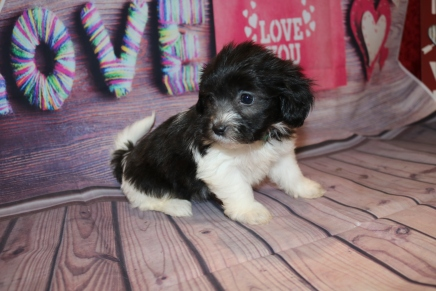 Snuggles Male Miki $2000 Ready Feb 6 SOLD MY NEW HOME JACKSONVIKKE, FL2lb 2 oz 6W5D Old