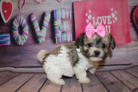 Spice Female Havapoo $2000 Ready 2/8 SOLD MY NEW HOME JACKSONVILLE, FL 1 lb 4 oz 6W3D Old