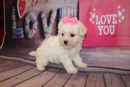 Sugar Female Havapoo $1750 Ready 2/8 SOLD MY NEW HOME JACKSONVILLE, FL 1 Lb 10 oz 6W3D Old