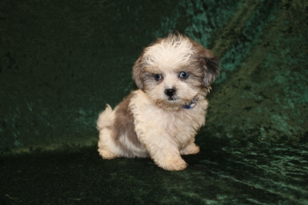 Sugar Bear Male CKC Shihpoo $2000 Ready 2/6 SOLD! MY NEW HOME IS IN ST AUGUSTINE, FL!1 Lb 1LB 13 oz 9W2D Old