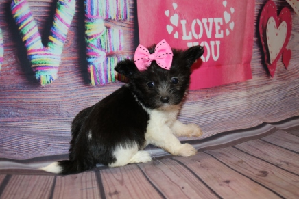 Sweetie Female Miki $2000 Ready Feb 6 SOLD MY NEW HOME ST AUGUSTINE, FL 1lb 4oz 6w5d old