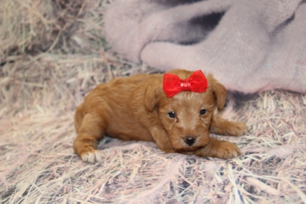 TeeHee Female CKC Schnoodle $2000 Ready 3/5 SOLD MY NEW HOME PONTE VEDRA BEACH, FL 2lbs 1.5oz 3W6D old
