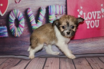 Hearts Female Miki $2000 Ready Feb 6 SOLD MY NEW HOME JACKSONVILLE, FL 1lb 8 oz 6W5D Old