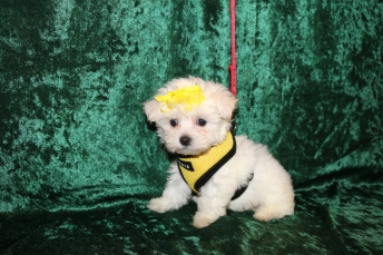 Blondie Female CKC Maltese $1750 Ready 2/25 SOLD MY NEW HOME CORAL SPRINGS, FL1 Lb 8.6 oz 7 Weeks Old