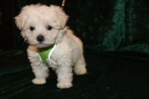 Chilly Male CKC Maltese $1750 Ready 2/25 SOLD MY NEW HOME JACKSONVILLE, FL 1 Lb 7 oz 7 Weeks Old