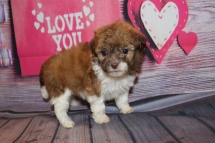 Coco Female CKC Havashipoo $2000 Ready 2/19 HAS DEPOSIT! MY NEW HOME IS IN FERNANDINA BEACH, FL 1LB 2OZ 5W1D OLD