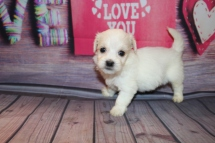 Dublin Male CKC Havanese $1750 Ready 2/23 HAS DEPOSIT MY NEW HOME ST AUGUSTINE, FL 1 LB 4 oz 4W4D Old