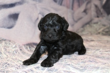 Giggles Female CKC Schnoodle $1750 Ready 3/5 SOLD MY NEW HOME IS IN Oklahoma City, Oklahoma! 1lb 9.5oz 3W6D old
