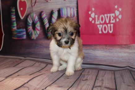 Heart Kisses Female Miki $2000 Ready Feb 6 SOLDMY NEW HOME JACKSONVILLE, FL 1lb 8 oz 6W5D Old