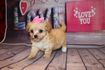 Honey (Minnie) Female Havapoo $2000 Ready 2/8 SOLD MY NEW HOME TAMPA, FL 14.8 oz 6W3D Old