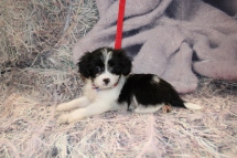 Hugs Male Miki $2000 Ready Feb 6 SOLD! MY NEW HOME IS IN JACSONVILLE,FL! 2lb 3oz 7w4d old