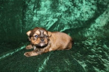 Mazie Female CKC Shorkie $1750 Ready 3/26 AVAILABLE 1 Lb 1 oz 2W4D Old