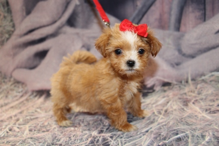 Milly Female CKC Havapoo $2000 Ready 1/28 SOLD MY NEW HOME ST AUGUSTINE, FL 1lb 10oz 9w old