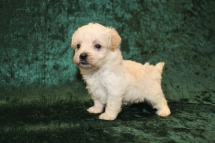 Misty Female CKC Yorkipoo $2000 Ready 3/15 HAS DEPOSIT! MY NEW HOME IS IN SPRING HILL, FL! 1LB 1OZ 4W OLD