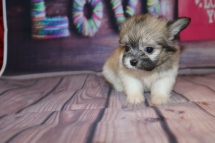 Num Num (Valentina) Female Miki $2000 Ready Feb 6 SOLDMY NEW HOME GOSHEN, NY 1 Lb 4 oz 6W5D Old