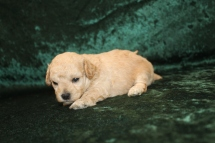 Pepper Male CKC Maltipoo $2000 Ready 3/15 AVAILABLE 1LB 4.2 oz 3W1D Old