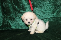 Polar (Pooh) Male CKC Maltese $1750 Ready 2/25 SOLD MY NEW HOME PALM COAST, FL 1 Lb 4.6 oz 7 Weeks Old