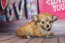 Pookie Male Miki $2000 Ready Feb 4 HAS DEPOSIT MY NEW HOME ARLINGTON HEIGHTS, IL 15oz 7w2d old