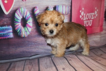 Prince Eric Male CKC Morkie $1750 Ready 1/28 AVAILABLE! 2.1lb 8W Old
