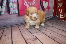 Rolo (Taco) Male CKC Havashipoo $2000 Ready 2/19 HAS DEPOSIT MY NEW HOME ST JOHNS, FL 1LB 10OZ 5W1D OLD