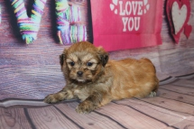Roxanne Female CKC Shihpoo $1750 Ready 2/25 SOLD! MY NEW HOME IS IN ORLANDO, FL! 2 lbs 4W1D Old
