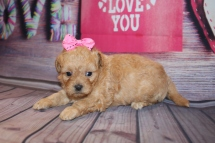 Roxy Female CKC Shihpoo $2000 Ready 2/25 HAS DEPOSIT MY NEW HOME ORMOND BEACH, FL 1 lb 14 OZ 4W1D Old