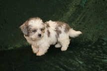 Sugar Bear Male CKC Shihpoo $2000 Ready 2/6 JUST BECAME SOLD! MY NEW HOME IS IN ST AUGUSTINE, FL!1 Lb 1LB 13 oz 9W2D Old